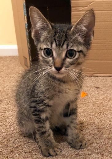 Super Cute Kittens Calvin Lost Dog Amp Cat Rescue Foundation