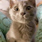 Greatest Showman Kittens: Barnum