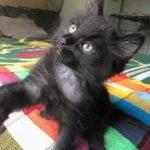 Superhero Kittens: Batman