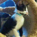 Zoomer Kittens: Numo