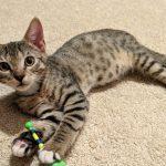 Greatest Showman Kittens: Phillip
