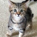 Sprinkles' Kitten: Ashton
