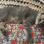 Pounce's Kitten: Strawberry