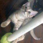 Pounce's Kitten: Cupcake