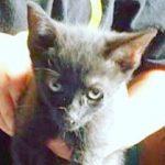 Halifax County Kittens: Batman, aka Batty McBatterson