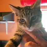Halifax County Kittens: Sampson
