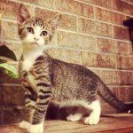 Halifax County Kittens: Tenille